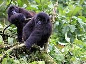 Mládě gorily nížinné východní v národním parku Kahuzi-Biega.