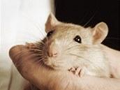 Potkan patří mezi jedny z nejinteligentnějších hlodavců v přírodě.