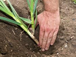 Aby česnek dobře rostl, měl by být zasazen na hloubku dlaně.