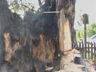 Shořela Semtínská lípa u Sobotky na Jičínsku (26. května 2012)