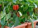 Na každé rostlině se paní Merlíčkové urodí zhruba dvacet krásných velkých