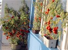 Takto se dají pěstovat v samozavlažovacích truhlících rajčata, pokud máte u