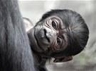 Jako všechna gorilí mláďata, měl i Tatu v prvních týdnech života narůžovělý