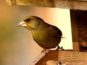 K přenosu nákazy trichomonózou ptáků dochází především na krmítkách, proto