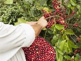 """Takto se """"kávové třešně"""" ručně sklízejí."""