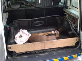 Jedna ze dvou srn, které strážníci v posledních dnech odchytávali v ulicích