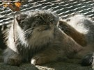 Manul je kočkovitá šelma velká jako kočka domácí, ale na mohutnosti jí dodává