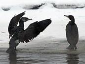 Kormoráni na řece Jihlavě