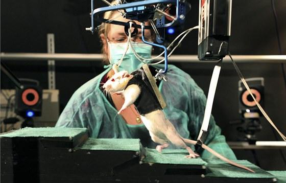 Rehabilitační robot, který použili vědci z EPFL pro rehabilitaci hlodavců. Zvířata odlehčuje, ale v dopředném pohybu jim nepomáhá.
