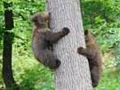 Medvíďata Toby a Kuba z brněnské zoologické zahrady.