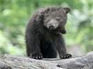 Medv��ata v brn�nsk� zoo