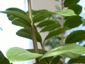 Zamiokulkas hýčkejte v úzkém květináči, aby vám nechcípnul.