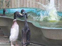 """Ne náhodou se někdy běžcům říká """"tučňáčí kachny""""."""