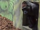 Samec gorily nížinné Tadao se vrátil do zoo ve Dvoře Králové. (27. 6. 2012)