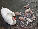 Labutě s mláďaty chodí Hradečtí k rybníku Plachta přikrmovat. Když se dostanou