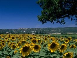Provence, slunečnicová pole u Gordes