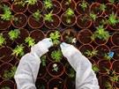 Pracovník na marihuanové plantá�i se sklání k jedné z rostlinek. Práv� zde, na...