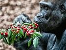 Gorilí samec Tadao a nový pavilon opic v Zoo Dvůr Králové nad Labem