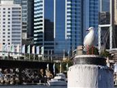 Racek u konferenčného centra v Darling Harbour