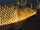 Kapr na mlaskačku je jednou z nejčastěji lovených ryb.
