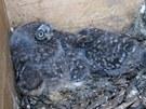 Mláďata sýčka obecného uvnitř hnízdní budky.