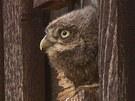 Mládě sýčka obecného pozoruje ze vstupu do hnízdní budky okolní dění.