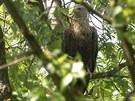 Samice orla mořského nedaleko hnízda, které později někdo zničil.