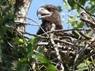 Mládě orla mořského ještě v hnízdě, které někomu moc vadilo. Mladý orel ale
