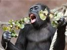 Vpražské zoo dostávají gorily nejen zeleninu a ovoce, ale i větve různých