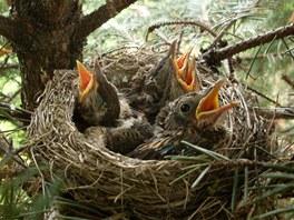 Ptačí mládě se nemusíte bát vrátit do hnízda, rodiče ho přijmou. Opeřené mládě