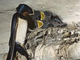 Ptačí mládě můžete bez problémů vrátit do hnízda, rodiče je přijmou a starají