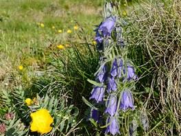 Typická rostlina Belianských Tater - Zvonek alpský