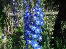 Ostrožka stračka (Delphinium Pacific), opět nádherně modře květoucí