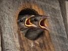 Hladová ptá�ata. Dv� vrab�í mlá�ata sledují v americkém stát� Connecticut z...