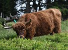 Skotské krávy mají pomoci obnovit původní složení horských luk v okolí Švýcárny