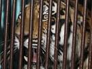 Nový tygr ussurijský dorazil do zlínské zoo.