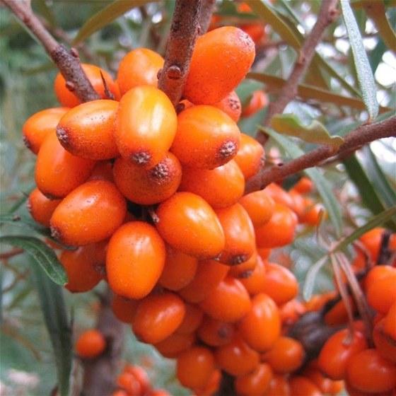 Léčivé rostliny pro zdraví. Foto: rakytník