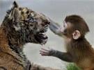 KAMARÁDI. Mlád� makaka si hraje s malým tygrem v zoologické zahrad� ve m�st�...
