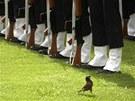 ODVÁ�NÝ VRAB�ÁK. Vrabec krá�í v Dillí kolem �len� indických vzdu�ných sil b�hem...