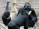 Kijivu vybírá rozinky zotvorů vpolínku, její mláďata ji pečlivě pozorují.