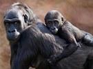 Roční Kiburi se stále často vozil na zádech matky.