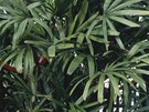 Arekov� palma
