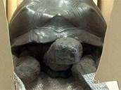 Želva určená k opravě: byla preparovanán roku 1862.