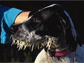 Mnohý lovecký pes, eventuálně buldoci, bulteriéři či staffordi ze Severní...
