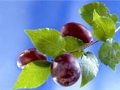 Odrůdu vyberte na míru své zahradě, možnostem i potřebám.
