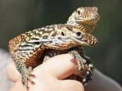 Varani komodští, kteří se vylíhli v pražské zoo mezi 31. červencem a 3. srpnem...