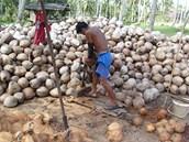 20. ledna 2012, koh Samui, Thajsko. Loupa� kokosov�ch o�ech�. Kokosov� o�echy
