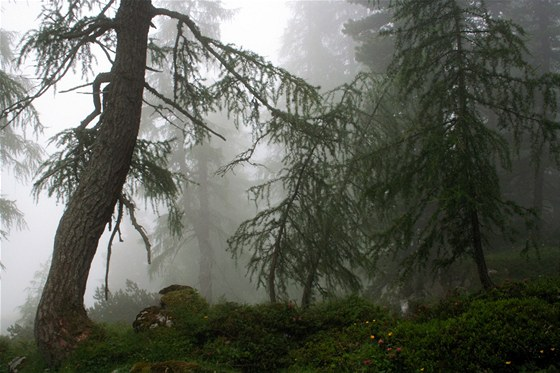 Začarovaný modřínový les u chaty Erfurter hütte