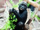 Kiburi, nejmladší z mláďat samice Kijivu
