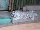 Ml�d� b�l�ho tygra na z�b�rech kamery libereck� zoo.